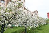 Kiraz Bahçesi Beyaz Gelinliğini Giydi
